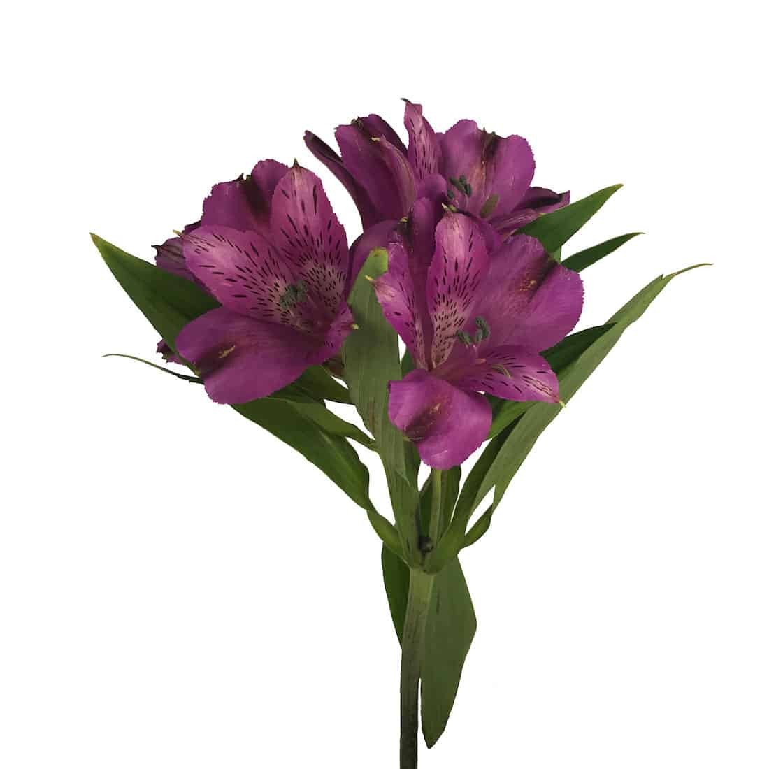 Alstroemeria purple metro flower market alstroemeria izmirmasajfo