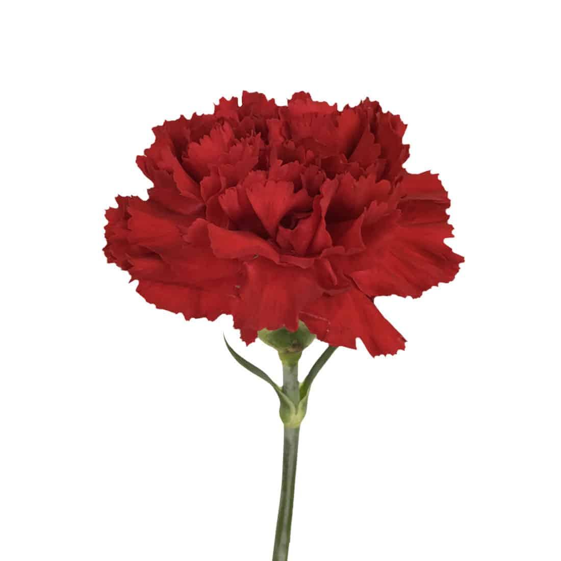 Carnation Red Select Best Seller Metro Flower Market