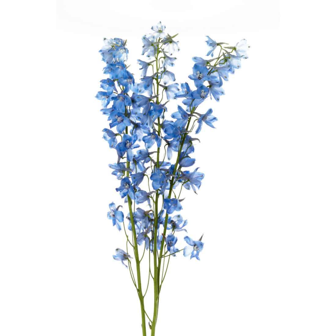 Delphinium Light Blue Metro Flower Market