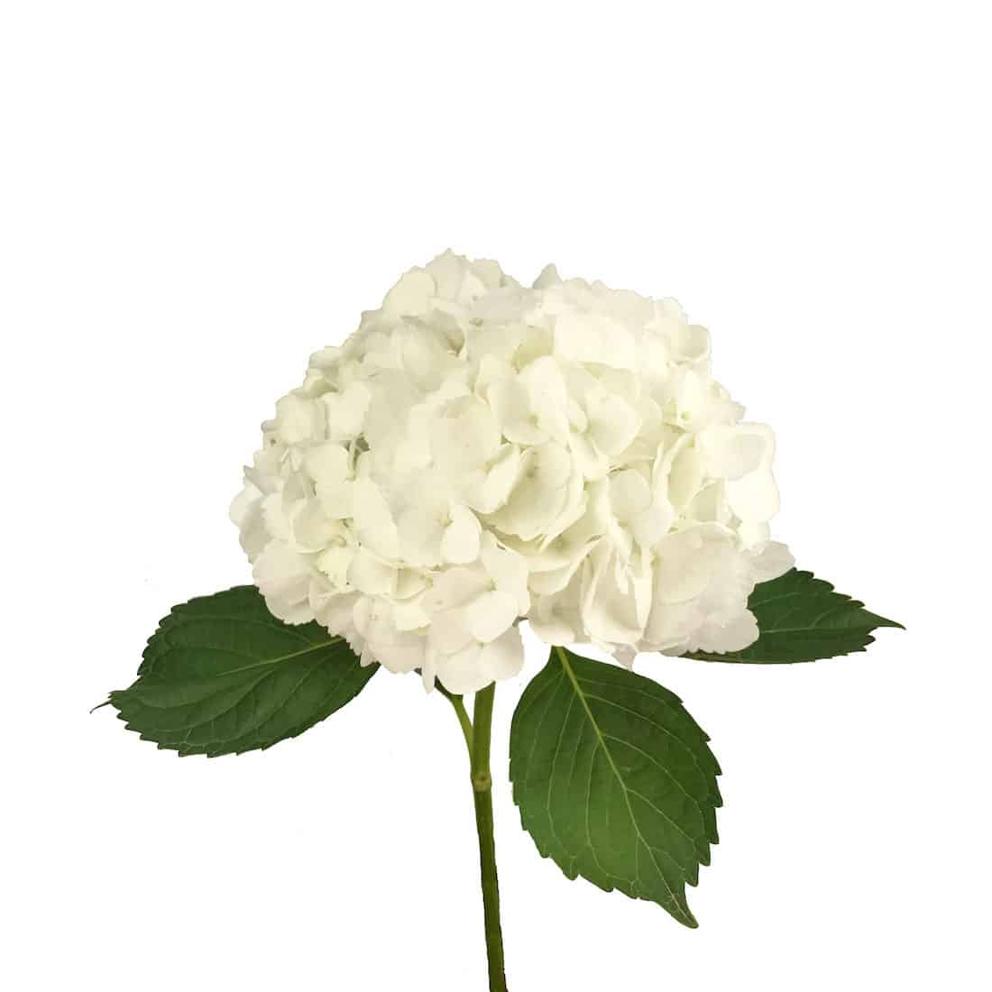 Hydrangea White Metro Flower Market