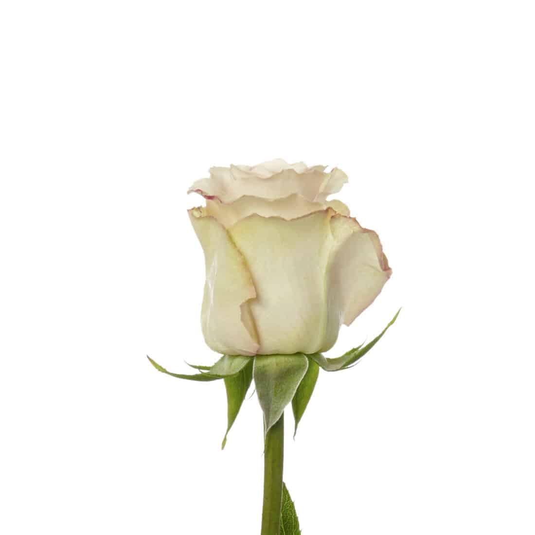 Rose, Cream Quicksand