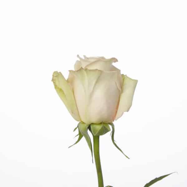 Rose, Cream Sahara