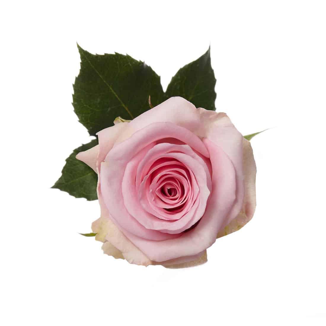 Rose, Light Pink Jessika | Metro Flower Market